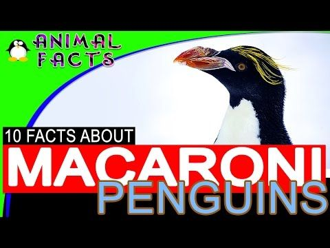 Fun Facts About Macaroni Penguins for Kids Penguins 101 #penguin - YouTube