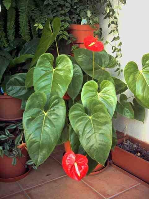 Anturio jardines tropicales pinterest plantas for Plantas de interior anturio