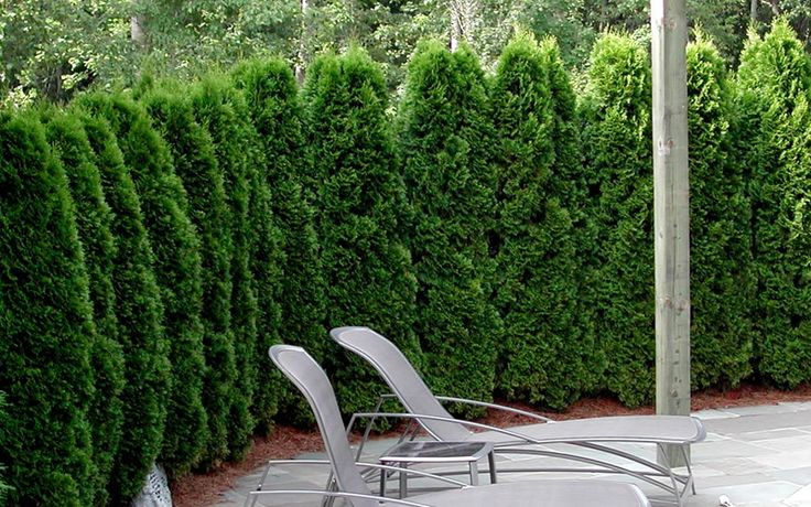Emerald Green Arborvitae is an upright, conical-shaped evergreen conifer featuring attractive, dark emerald green foliage.