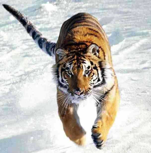 tiger_running_in_snow