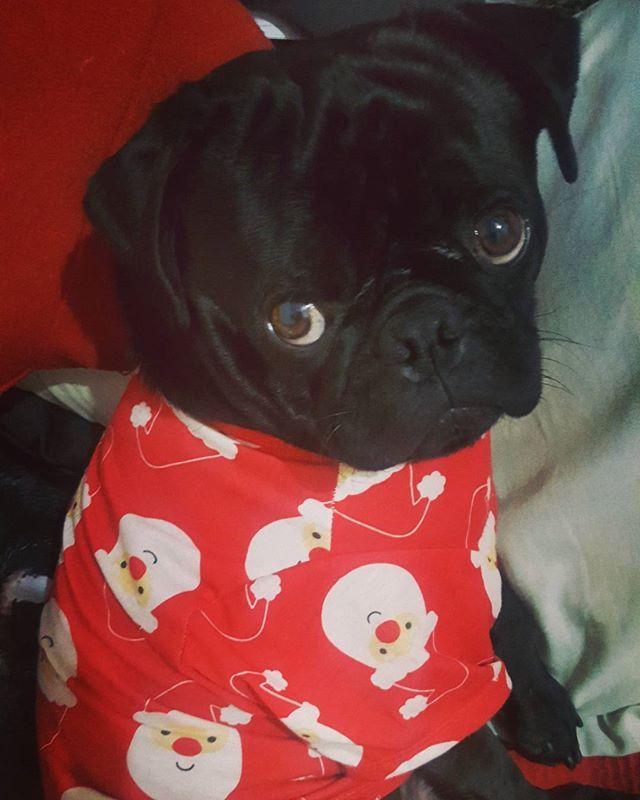 Merry PuggieChristmas . . #pug #puglife #blackpugrocko #blackpug #pugs #puglove #pugstagram #instapug #pugsnotdrugs #pugnation #ilovemypug #pawnpug #pugoftheday #puglover #pugworld #puglovers #puggy #smilingpugs #pugslife #pugdog #ilovepugs #thugpug #pugface #worldofpug #instapugs #teampug #pugsandkisses #obsessedwithpugs