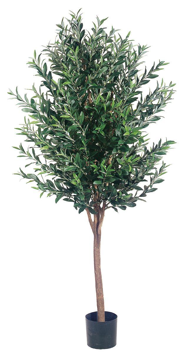 Olive Tree In Pot 5ft