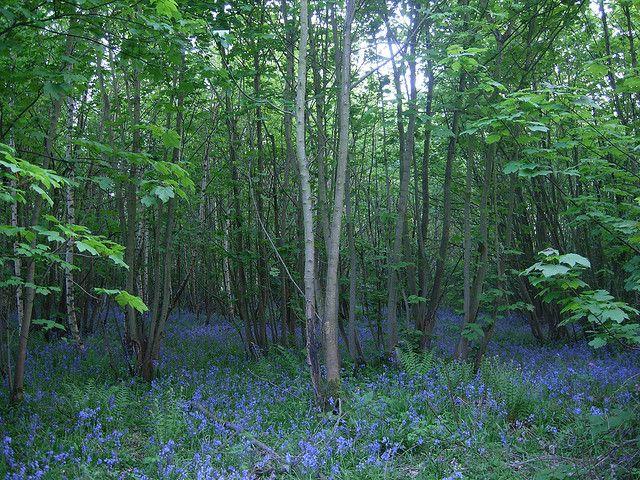 Bluebell Woods, East Keswick Wildlife Trust