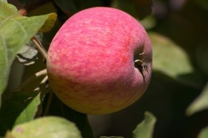 How to Grow Apple Trees in Michigan thumbnail