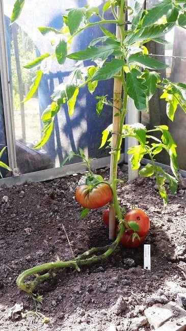 tomaten teeltzorgen | diana's mooie moestuin | garden '19 - garden
