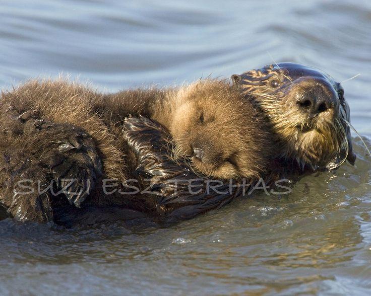 BABY SEA OTTER and Mom Photo- 8 X 10 Print -  Animal Photography, Wildlife Photography, Wall Decor, Nursery Art, Ocean, Mother, Love, Pup. $25.00, via Etsy.