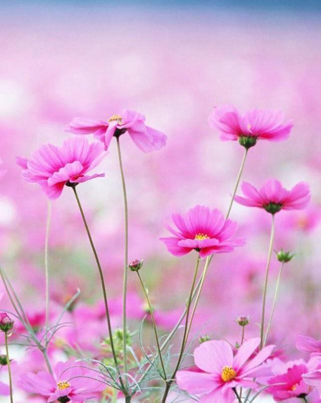 """166 mejores imágenes de my favorite """" cosmos flowers """" en"""