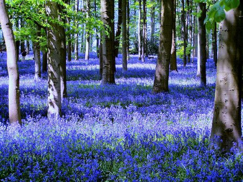 Bluebells by Kev747 (Flickr)  sunsurfer: Bluebells, Coton Manor Gardens, Northhamptonshire, England; photo via tollana