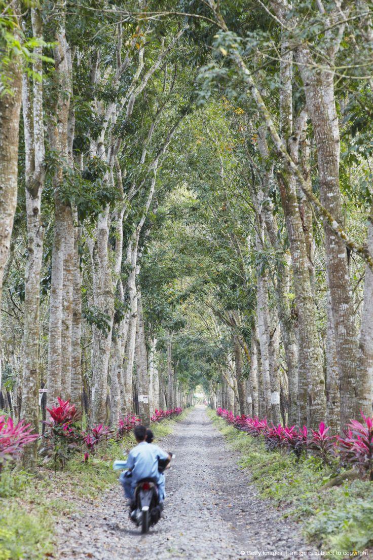 Image detail for -Indonesia, Java, Kalibaru, Motorbike passing through Kebun Kandeng Lembu rubber plantation