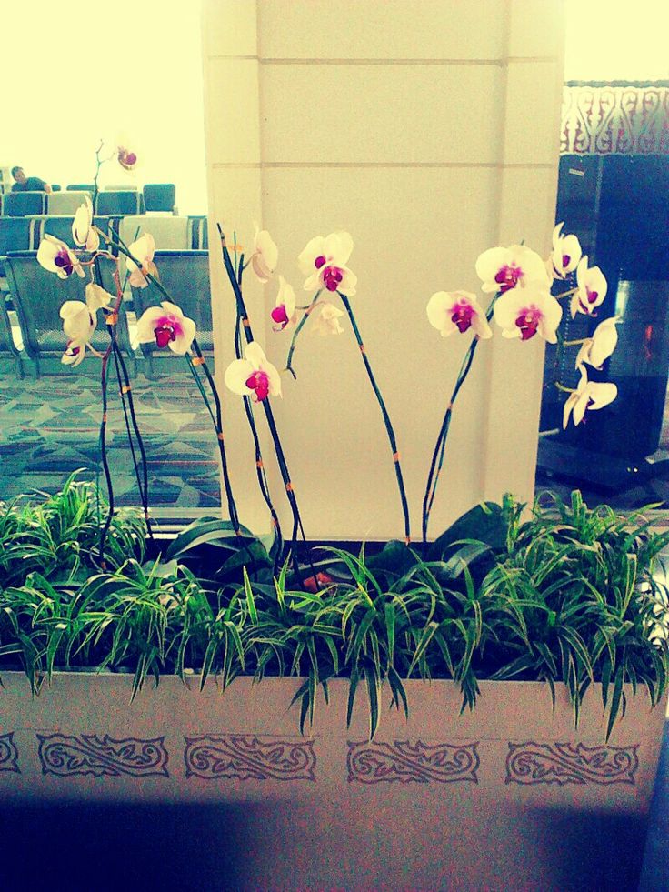 Phalaenopsis for decoration...