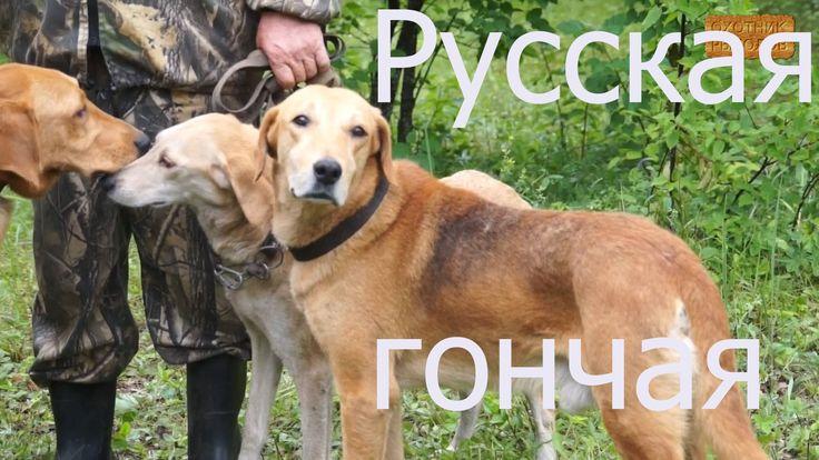 Русская гончая-порода охотничьих собак в HD.