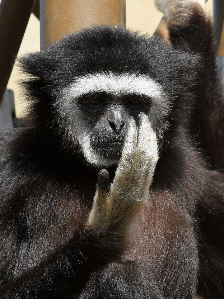 """旭川市旭山動物園[公式]さんのツイート: """"(2/2) #シロテテナガザル のテルテル(オス)が、真剣な顔で自分自身の白い手を見つめています。自分たちの種名の由来を知って感心したから……ではなくて、空中でキャッチした羽虫を見ているだけなんですけどね。 #いきものウィーク #まめちしき #gibbon… https://t.co/BvBn6YdSLQ"""""""