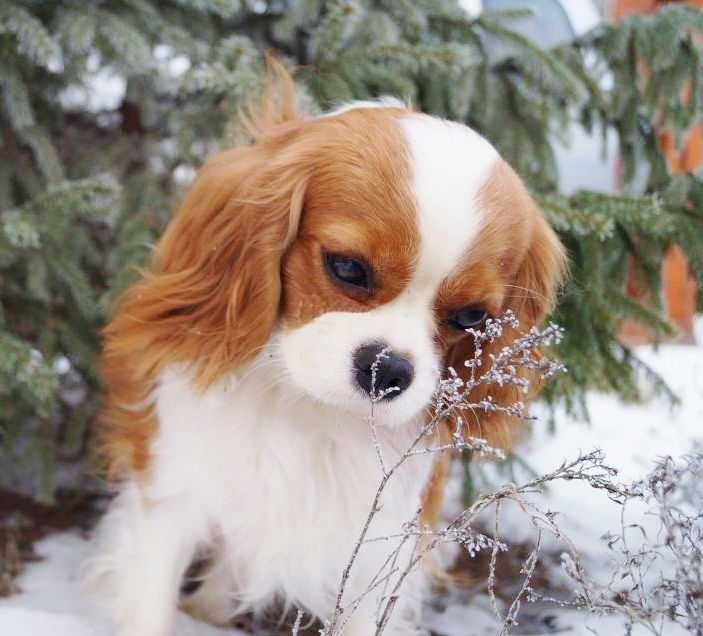 Cavalier King Charles Spaniel. This is such a precious picture. OMG, just like Kingsley.