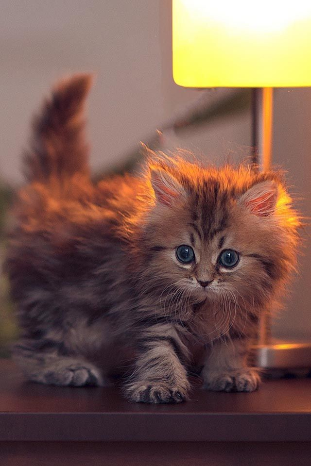 Little fluffy kitten I have to admit it looks kind of