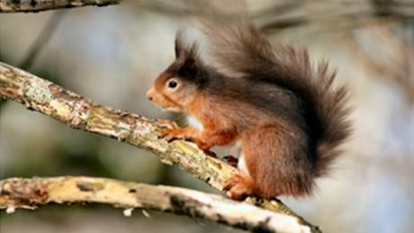 A red squirrel on a branch in Borrowdale