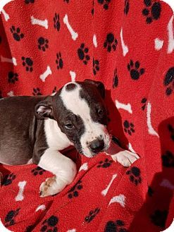Arlington, WA - Staffordshire Bull Terrier Mix. Meet Ceasar  Staffordshire Terrier Mix puppy, a puppy for adoption. http://www.adoptapet.com/pet/17709045-arlington-washington-staffordshire-bull-terrier-mix