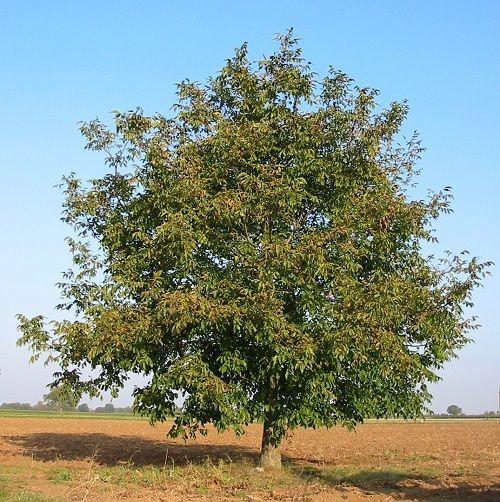 Гороскоп друидов дерево Грецкий орех     Зодиак кельтов. Люди рожденные под знаком Грецкого ореха с 21 по 30 апреля и с 24 октября по 2 ноября