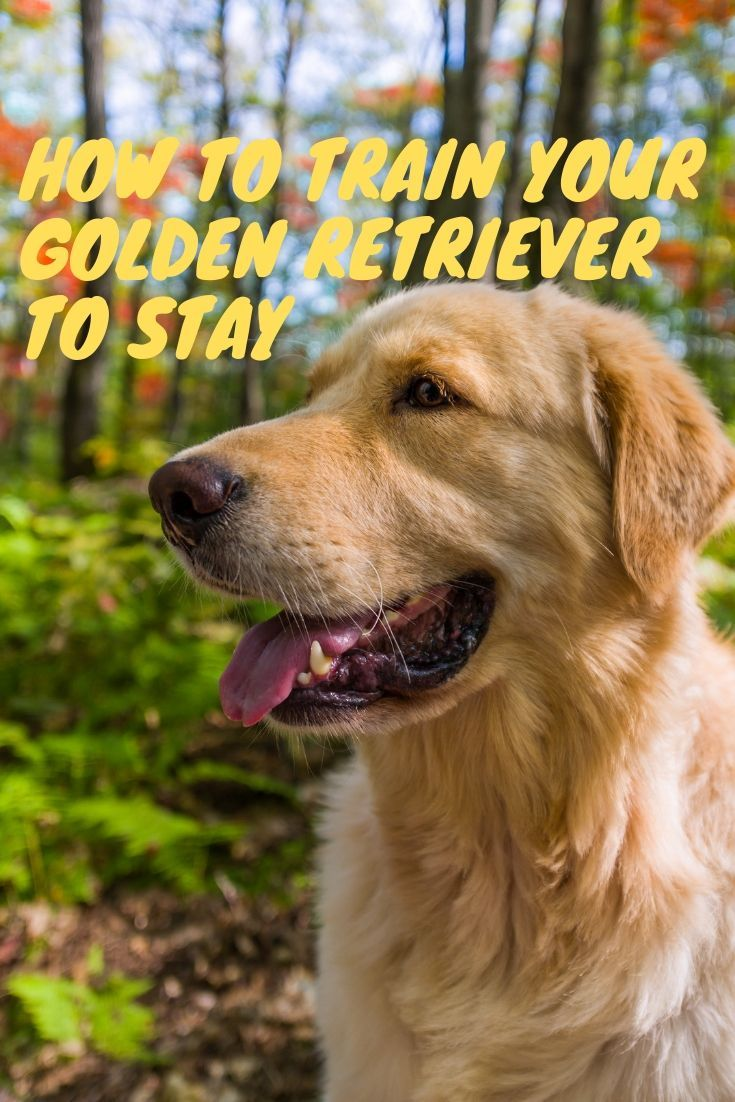 This Post Will Show You How To Train Your Golden Retriever To Stay