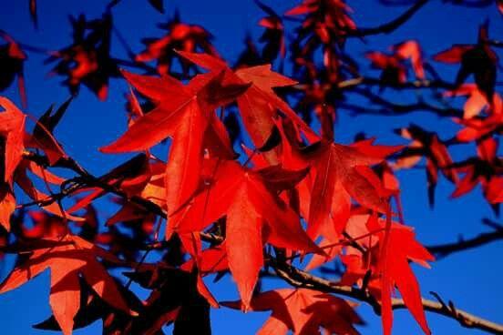 Rode bladeren, blauwe lucht