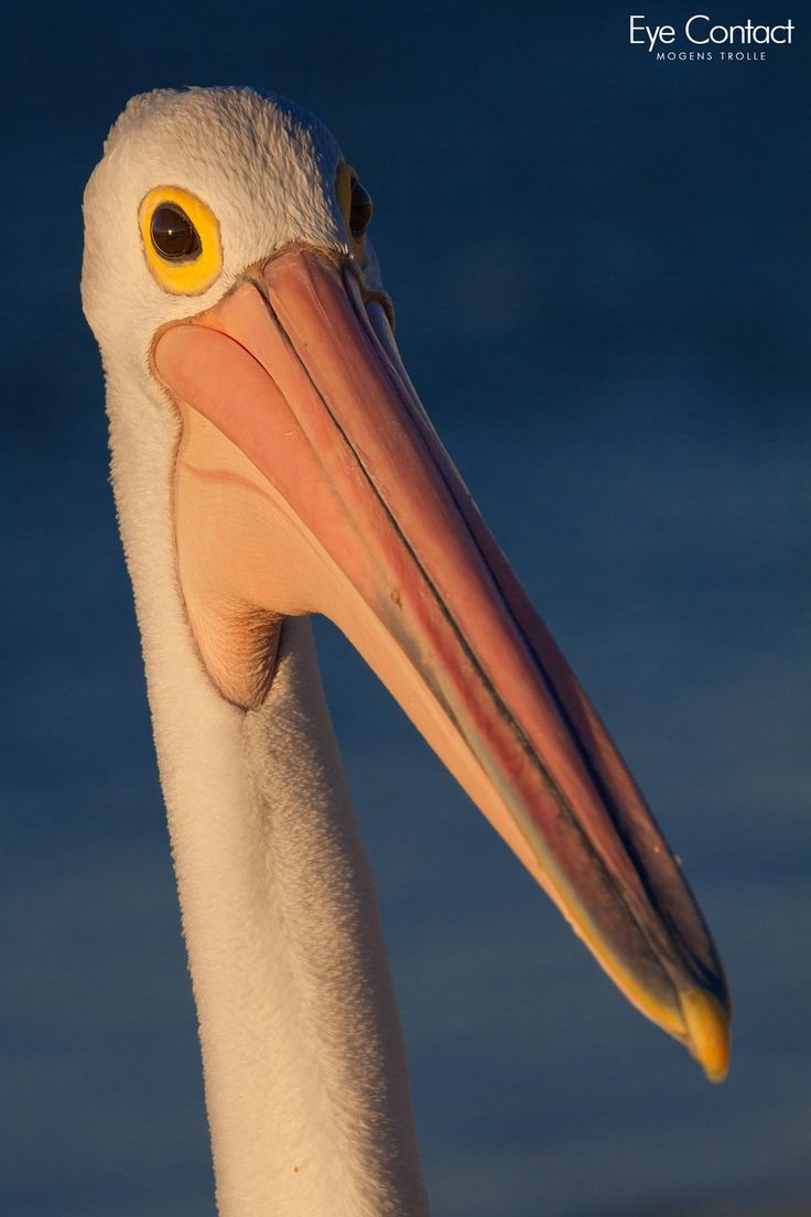 3073 best pelicans images on pinterest animals beautiful birds