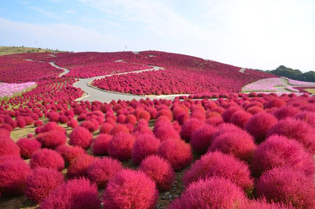 紅葉する不思議な草! もこもこ系のコキアが織りなす秋の幻想風景に出会う。 Kōyō suru fushigi na kusa! Mokomoko-kei no kokia ga orinasu aki no gensō fūkei ni deau. Rumput aneh yang daunnya memerah! Bertemu dengan bentang alam fantasi musim gugur yang dijalin oleh rumput Kokia dari keluarga Mokomoko. http://news.mynavi.jp/news/2016/09/16/036/