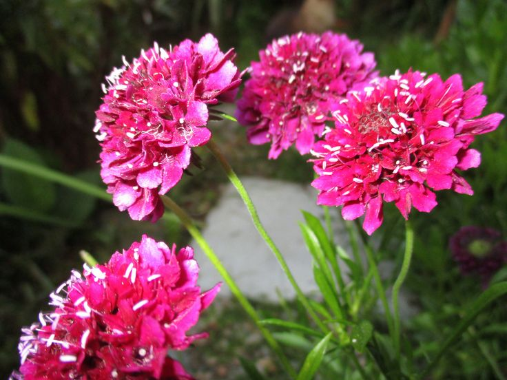 Pink Thrift aka Ameria - I love the little grassy clumps when they're not flowering, and the little pink ball flowers
