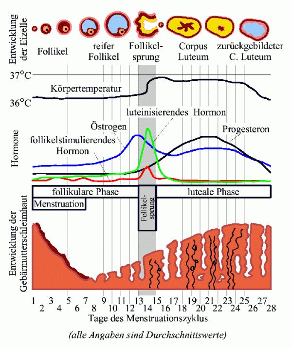 Menstrual-zyklus