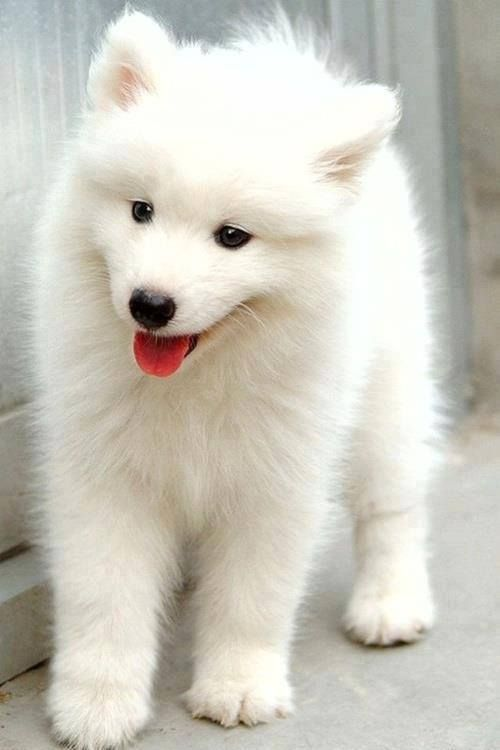 Siberian Samoyed Dog