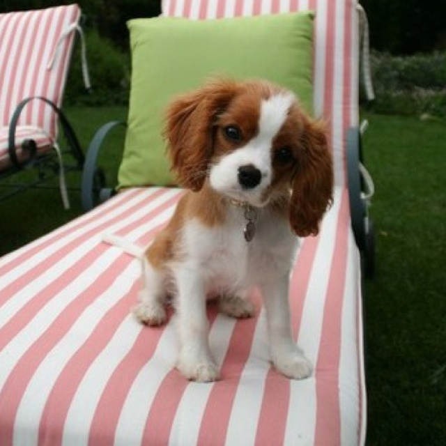 Cavalier king charles: Animals, Dogs, Pet, Puppys, Adorable, Cavalier King Charles, King Charles Spaniels