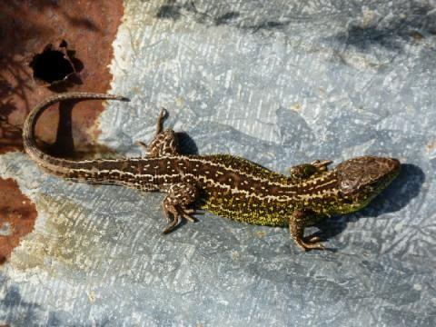 Sand Lizard: the sun worshipper!   Peter Orchard