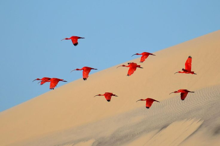 A flock of scarlet ibis soar over sand dunes on the northeast coast of Brazil. Young photographer Jonathan Jagot (winner in the 15 to 17 year old category) couldn't get too close to the nervous birds, so he waited for them to take flight.