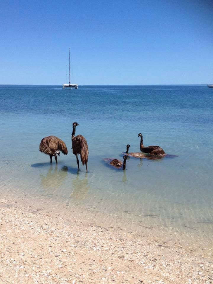 Emus having a swim at Monkey Mia, West Australia