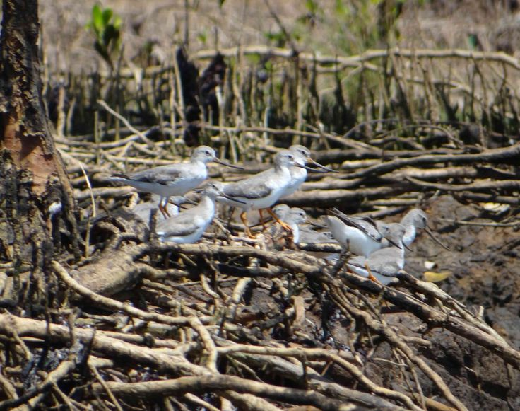 Terek #Sandpiper in mangroves on the Swahili Coast of Tanzania