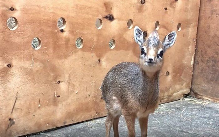 WATCH: This newborn dik-dik antelope tragically lost its mother not long after being born. But now the miniature animal is in good hands: zookeepers in Chester, England, adopted the calf.