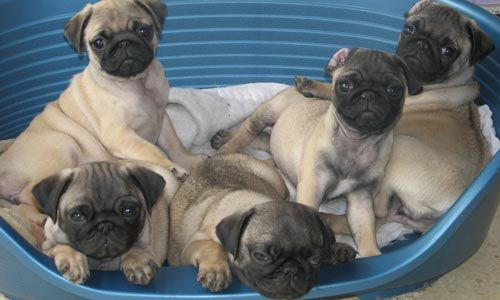 Cachorros de Doguillo, Carlino o Pug
