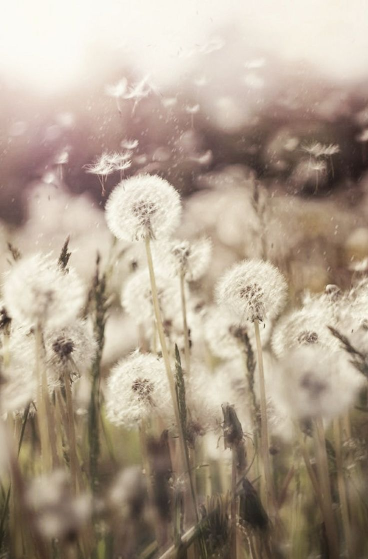 ☪dandelion wishes: | field of dreams