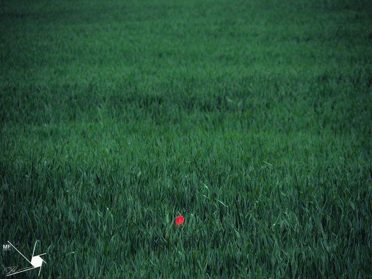 Poppy | by Munns Foto