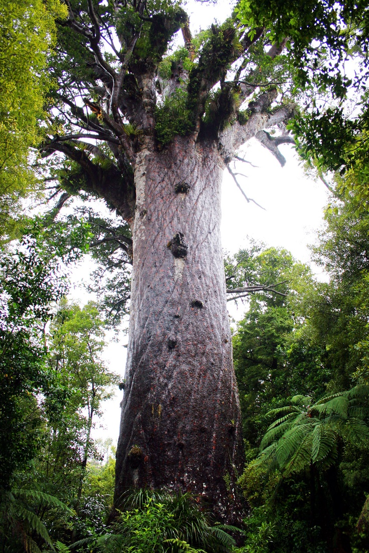 Kauri Forest - Tane Mahuta, the 2,500 year old forest guardian. Waipoua Forest. North Island.