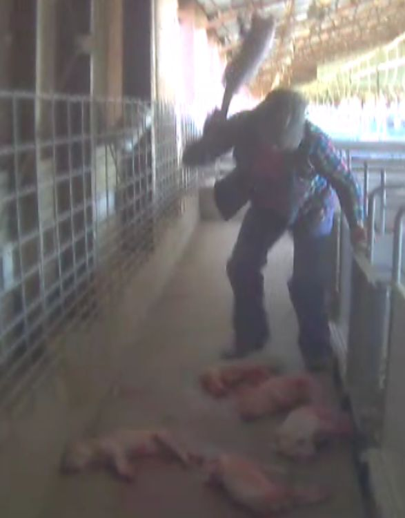 Thumping: slamming baby piglets headfirst into the ground. #realpigfarming pic.twitter.com/Y6S7RBvdXa