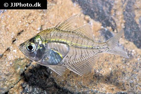 18 Best Fishes I Currently Own Images On Pinterest