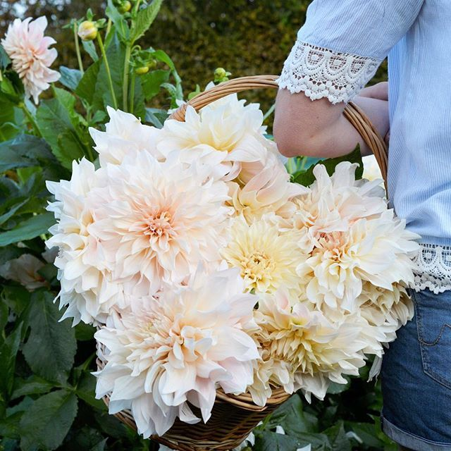 In Australia And New Zealand They Are Luck Flower Farm Flowers Dahlia