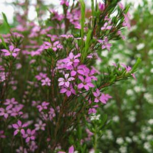 Coleonema pulchrum 'Rubrum' Fynbos indigenous to South Africa