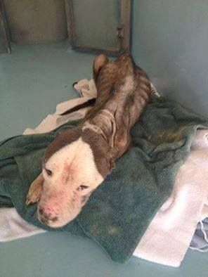 "U N C O N S C I O N A B L E !!! JUST WHEN WE THINK WE'VE SEEN ALL THE CRUELTY....""HOGAN"" NEEDS OUR HELP; STARVED TO THE BONE, EARS CUT OFF TO HIS HEAD. IN PAIN, SUFFERING!  NO WORDS CAN EXPRESS HOW HEARTBREAKING TO SEE ANY LIVING CREATURE LIKE THIS. BEGGING FOR HELP, FOR DONATIONS, FOR LIFE, PLEASE PRAY FOR ""HOGAN"". Currently at the vet in Caroline County, VA https://www.facebook.com/photo.php?fbid=1707640929454440&set=a.1700372086847991.1073741828.100006256487042&type=1"