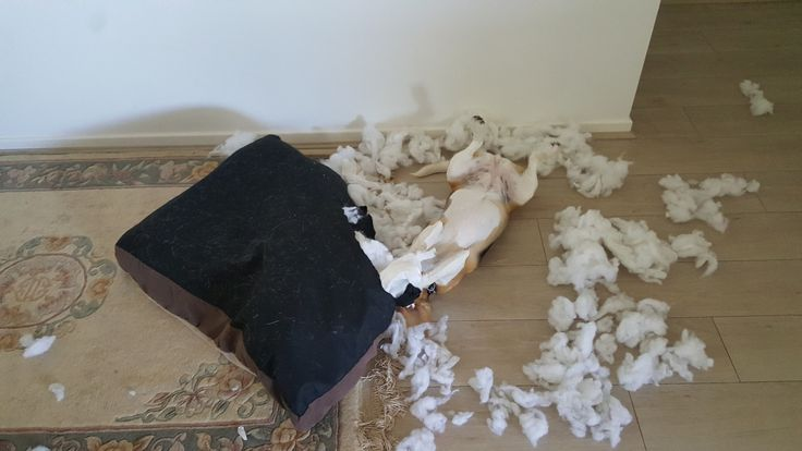 No more nice things for our 11 month old beagle puppy. : beagle