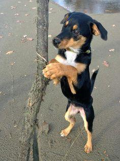 My dog is a Rottweiler Beagle mix!