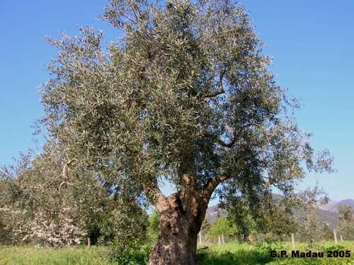 Amo gli alberi di ulivo frondosi, con il tronco nodoso piegato dal vento sardo...