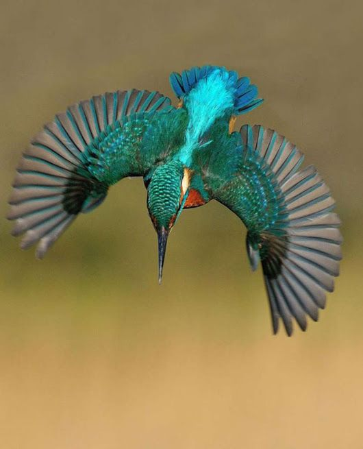 Magnificent  kingfischer in flight. Google.