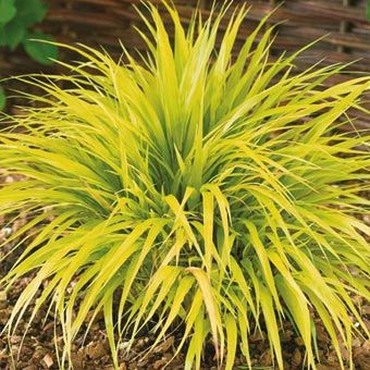 231 best grasses sedges images on pinterest gardening for Ornamental grass with yellow flowers
