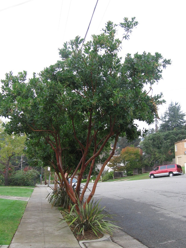AM - Arbutus marina, strawberry tree instead of Tristania ...