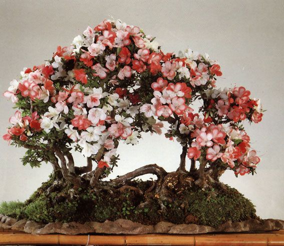 Raft-style, or Netsuranari, bonsai mimic a natural phenomenon that occurs when a tree topples onto its side .